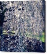 Prunus Subhirtella 'pendula' Canvas Print