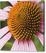 Purple Cone Flower Echinacea Canvas Print