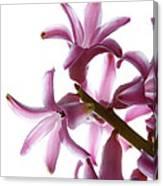Purple Hyacinth Macro Shot. Canvas Print