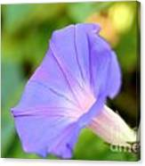 Purple Morning Glory Canvas Print