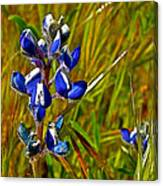 Pygmy-leaved Lupine In Antelope Valley Poppy Preserve-california Canvas Print