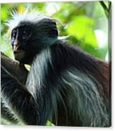 Red Colobus Monkey Canvas Print