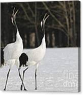Red-crowned Cranes Courting Canvas Print