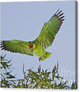 Red-crowned Parrot Canvas Print