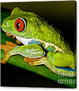 Red-eyed Treefrog Canvas Print