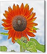 Red Face Sunflower At Olympia Canvas Print