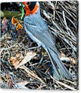 Red-faced Warbler At Nest With Young Canvas Print