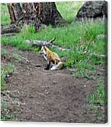 Red Fox In Yellowstone Canvas Print