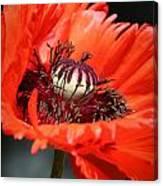 Red Orange Poppy Canvas Print