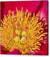 Red Peony Flower Canvas Print