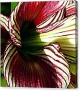 Red Striped Lily Canvas Print