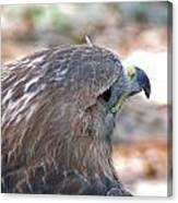 Red Tailed Hawk 2  Canvas Print