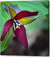 Red Trillium Canvas Print