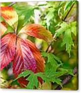 Red Viginia Creeper And Maple Leaves Canvas Print