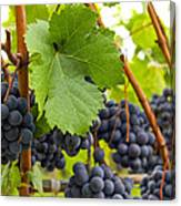 Red Wine Vineyard 3 Canvas Print