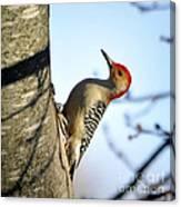 Redbelly Woodpecker Canvas Print