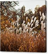 Reeds Highlighted By The Sun Canvas Print