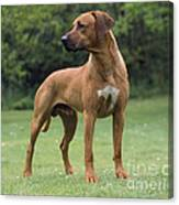 Rhodesian Ridgeback Dog Canvas Print