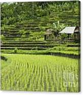 Rice Fields In Bali Indonesia Canvas Print