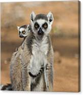 Ring-tailed Lemur And Baby Madagascar Canvas Print