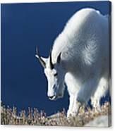 Rocky Mountain Goat Canvas Print