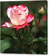 Rose And Bud At Mcc Canvas Print