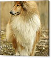 Rough Collie Dog Canvas Print