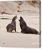 Rough Courtship Of Male And Female Hookers Sealions Canvas Print