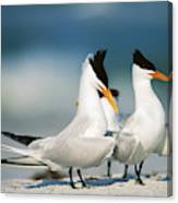 Royal Terns Canvas Print