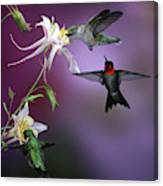 Ruby-throated Hummingbirds (archilochus Canvas Print