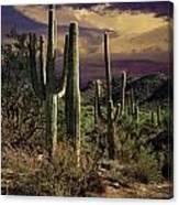 Saguaro Cactuses In Saguaro National Park Canvas Print
