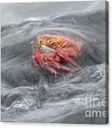 Sally Lightfoot Crab Canvas Print