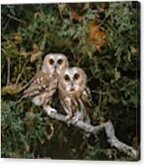 Saw-whet Owls Canvas Print