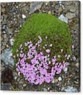 Saxifrage (saxifraga Oppositifolia) Canvas Print