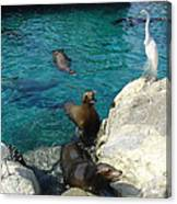 Seaworld Sea Lions Canvas Print