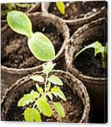 Seedlings Growing In Peat Moss Pots Canvas Print