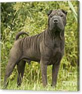 Shar Pei Dog Canvas Print
