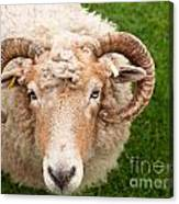 Sheep With Horns Canvas Print
