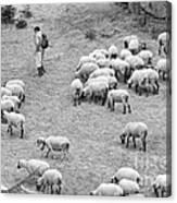 Shepherd With Sheep  Canvas Print