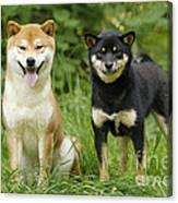 Shiba Inu Dogs Canvas Print
