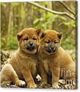 Shiba Inu Puppies Canvas Print