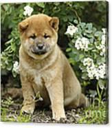 Shiba Inu Puppy Dog Canvas Print
