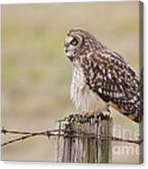 Short Eared Owl Canvas Print