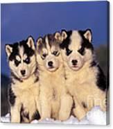 Siberian Husky Puppies Canvas Print