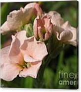 Single Peach Stocks From The Vintage Mix Canvas Print