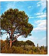 Single Pine Tree Against Blue Autumn Sky Canvas Print