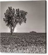Single Tree In The Bean Field Canvas Print