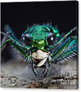 Six-spotted Green Tiger Beetle Canvas Print