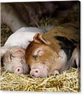 Sleeping Hogs  Canvas Print