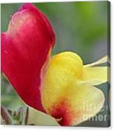 Snapdragon Named Floral Showers Red And Yellow Bicolour Canvas Print